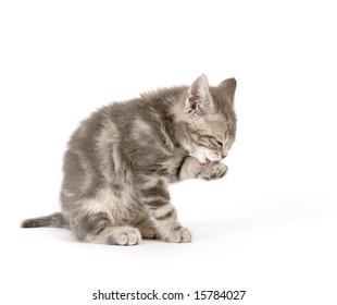 Washing gray kitten on white ground