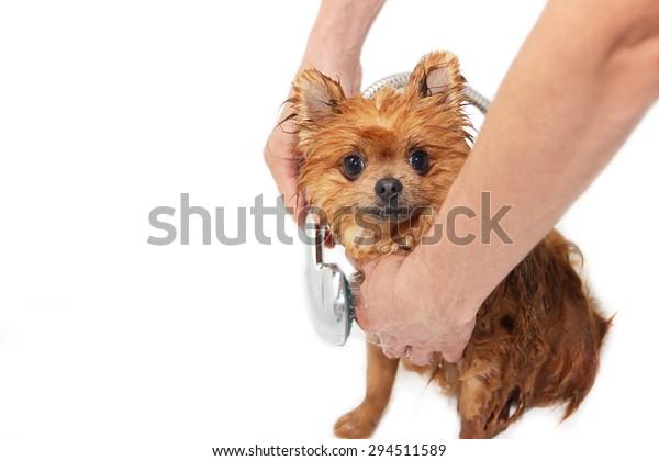 Washing the pomeranian dog in bathroom. Dog on white background. Dog in bath. Cute pomeranian dog