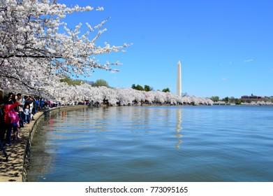 Washington DC, Columbia, USA - April 11, 2015: view of Washington monument through cherry blossoms