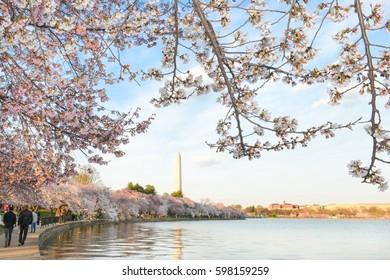Washington D.C. in springtime - Cherry Blossom Festival at Tidal Basin