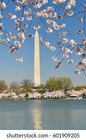 Washington DC in springtime - Washington Monument during Cherry Blossom Festival