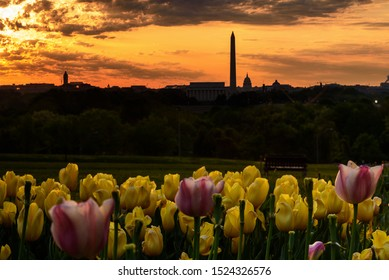 Washington DC at sunrise with thunderstorm sky, yellow and pink tulips in foreground, View from  Arlington, Virginia, Summer