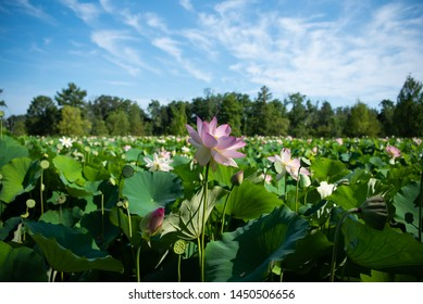 Washington, DC / United States - July 14, 2019: Lotus and Water Lily Festival at Kenilworth Park and Aquatic Gardens