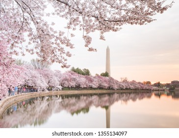 Washington, DC / United States - March 30 2019: Cherry blossoms near peak bloom reflecting in the Tidal Basin with the Washington Monument in the background.