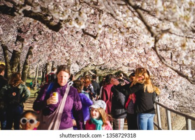 WASHINGTON D.C., USA - APRIL 1, 2019: Tourists walk under full cherry blossom branches at the cherry blossom festival in Washington D.C.