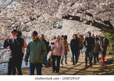 WASHINGTON D.C., USA - APRIL 1, 2019: Tourists walk through the cherry trees at the cherry blossom festival in Washington D.C.