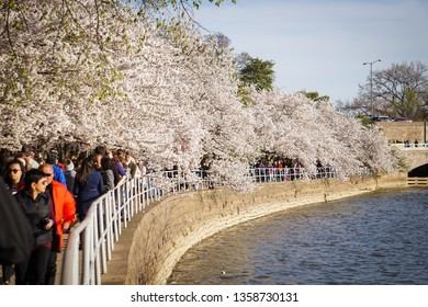 WASHINGTON D.C., USA - APRIL 1, 2019: Tourists walk under the cherry trees during peak bloom at the cherry blossom festival in Washington D.C.