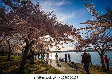 WASHINGTON D.C., USA - APRIL 1, 2019: Tourists walk along the tidal basin at dusk at the cherry blossom festival in Washington D.C.