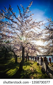 WASHINGTON D.C., USA - APRIL 1, 2019: The sun shines through a large cherry tree at the cherry blossom festival in Washington D.C.