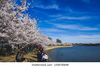 WASHINGTON D.C., USA - APRIL 1, 2019: Tourists walk under the blue sky at the cherry blossom festival in Washington D.C.
