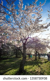 WASHINGTON D.C., USA - APRIL 1, 2019: A large cherry blossom tree stands in front of the crowd at the cherry blossom festival in Washington D.C.
