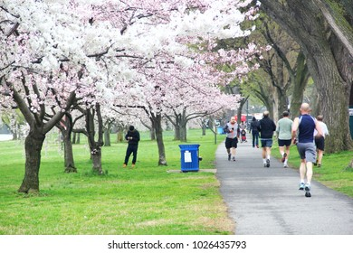 WASHINGTON DC, USA - APRIL 11, 2015 : People are jogging and relaxing in the park with blooming Yoshino Cherry tree in Washington DC.