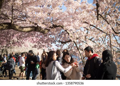 Washington, DC / USA - April 3, 2019: Every year, 1.5 million tourists visit for the annual Cherry Blossom Festival, which is when thousands of Yoshino cherry blossom trees bloom at the Tidal Basin.
