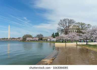 Washington, DC / USA - April 6, 2018: the famous cherry blossoms are at peak around the Tidal Basin.