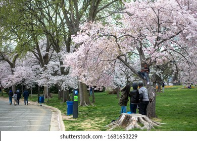 Washington, D.C. / USA - March 22, 2020: A young boy climbs a yoshino cherry blosom tree at the Tidal Basin while his family members take pictures during the COVID-19 pandemic.