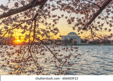 WASHINGTON, DC, USA - March 22, 2017: The sun rises over the Tidal Basin and the Jefferson Memorial as the Washington, DC's famous cherry blossoms approach peak bloom.