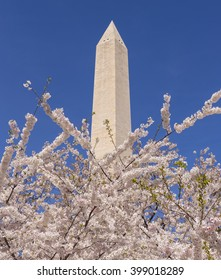 WASHINGTON, DC, USA - MARCH 30, 2016: Cherry trees blossoms and Washington Monument.