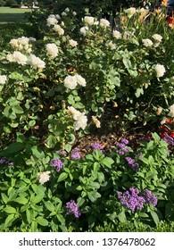 Washington DC,USA - June 26,2017:Flower garden of Rose Garden on a sunny day.