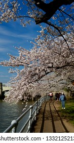 Washington DC/USA-March 23 2016 : SAKURA, Cherry blossoms of US-Japan friendship.Thousands of Tourist.