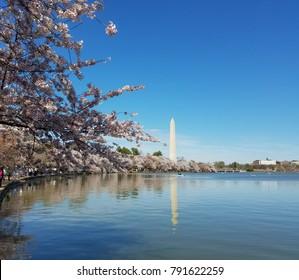 The Washington Memorial obelisk seen across the Tidal Basin during the annual Cherry Blossom festival in Washington DC, USA