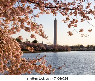 Washington Monument by Tidal Basin and surrounded by pink Japanese Cherry blossoms