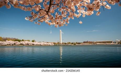 Washington Monument with Cherry Blossom Scene