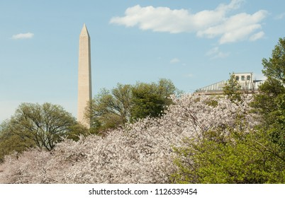 Washington Monument with cherry blossoms in Washington, D.C.