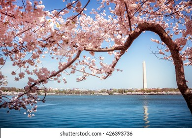 Washington Monument in Washington DC surrounded by flowering Japanese cherry blossom trees in spring on the Tidal Basin