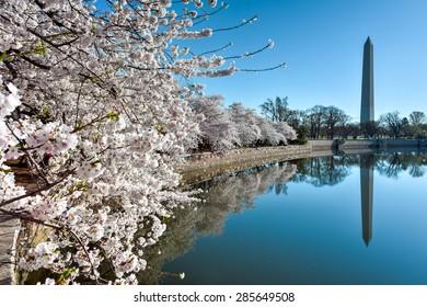 Washington Monument during the Cherry Blossom Festival. Washington, DC