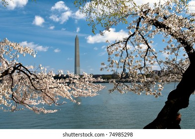 Washington Monument framed by cherry blossoms and ancient tree