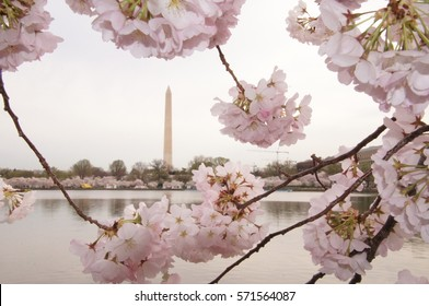 Washington Monument with pink cherry blossoms