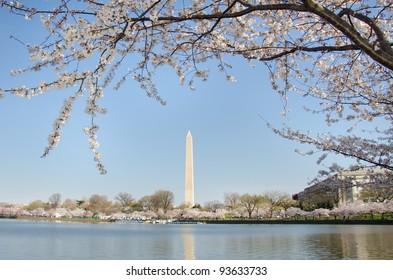 Washington Monument in spring, Cherry Blossom Festival - Washington DC United States