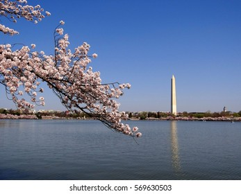 Washington Monument from the Tidal Basin During the Cherry Blossom Festival Washington DC