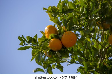 Washington navel oranges after a shower of rain in late winter ripening on a tree in a home garden are juicy and sweet.