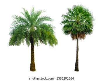 Washington Palm Tree isolated on white background with a high resolution suitable for graphic. The collection of trees. with clipping path