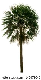 Washington Palm Tree isolated on white background with a high resolution suitable for graphic. with clipping path