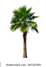 Washington Palm Tree isolated on white background