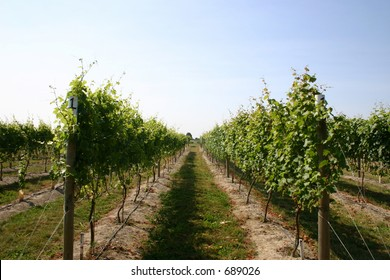 Washington State Chardonnay Vineyard