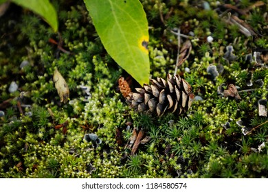 Wasilla Alaska Tiny Pinecone On Soft Moss Covered Ground
