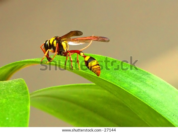 Wasp or Bee?