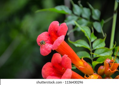 Wasp, ants and trumpet flower. Focus on wasp and ants.Trumpet vine or creeper or campsis radicans.Red Angel's Trumpet - Brugmansia sanguinea.Isolated Mexican Blood Trumpet flowers.