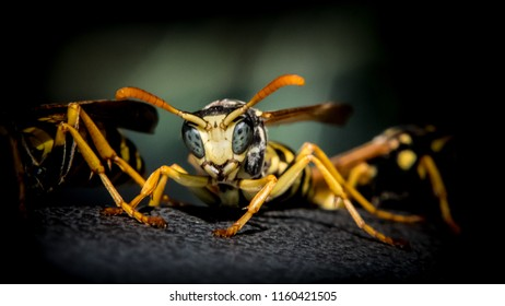 Wasp in close up