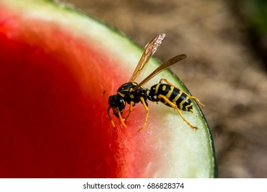 Wasp eating water melon, macro