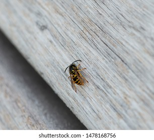 Wasp eats wood to build a wasp nest, wasps paper nest