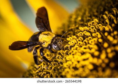 wasp feed for nectars of sunflower
