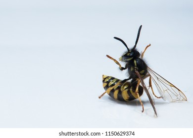 A wasp in a funny posture against a white background.