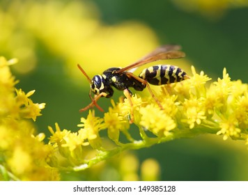 wasp of the garden on a yellow wild flower, macro, selective focus on head