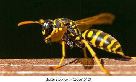 Wasp or German European wasp yellowjacket in latin Vespula vulgaris