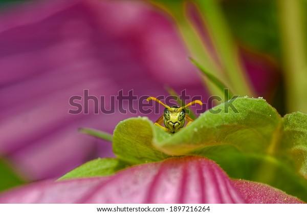Wasp is hiding behind a leaf