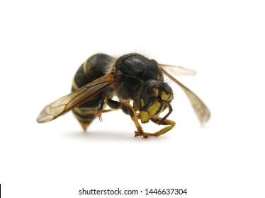 Wasp insect isolated on white background macro photo.